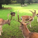 deer-at-whiteworth-hall-hotel
